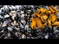 Foraging for Mussels and How to Make Mussels Toast with Avocado & Butternut Squash | Foraging