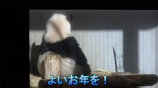 2019.12.27 シャンシャン よいお年を!(Giant panda Xiang Xiang. Have a great new year!)
