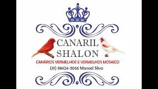 Canaril Shalon do meu amigo Manoel de Colombo - PR