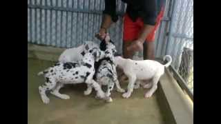 GREAT DANE HARLEQUIN / BLACK / MARLE -PUPPIES SIRED BY ABHAY'S UTRILLO MOLOSEUM (POLAND IMPORT)