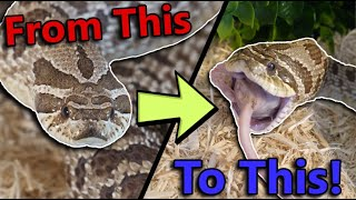 How to get Picky Hognose Snakes to Eat!