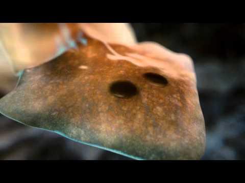 Ascaris inkubációs periódus