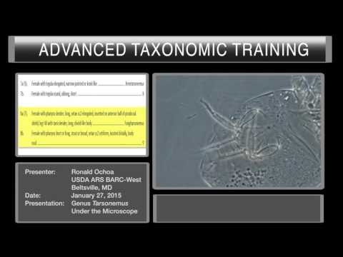 Mites under the microscope - <em>Tarsonemus</em>