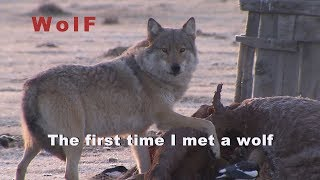 Wolf, Asia, Mongolia, The first time I met a Wolf.