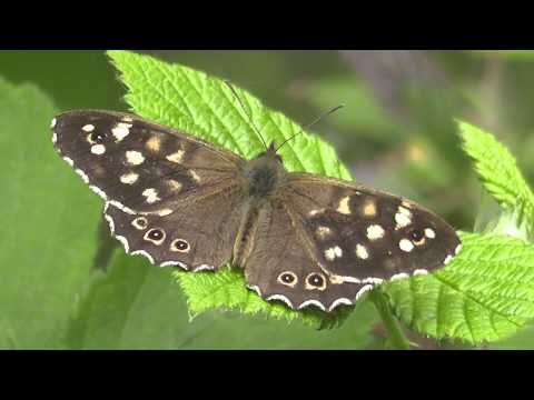 Specled Wood.