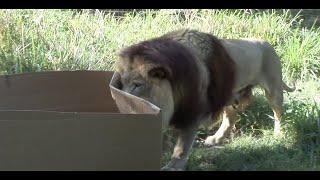 Lion Attacks Cardboard Box