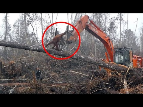 Orang-Utan greift einen Bulldozer an, um seinen Wald zu schützen!