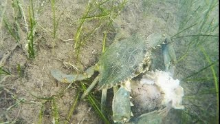 All About The Bait - Blue Crabs