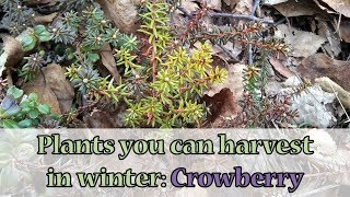 Plants you can harvest in winter: Crowberry