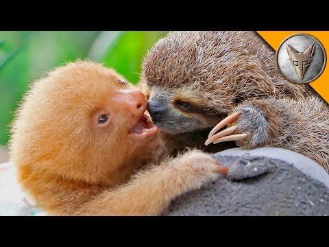 Krmení lenochoďátek