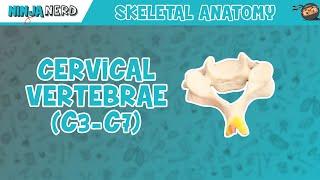 Cervical Vertebrae (C3-C7) Anatomy