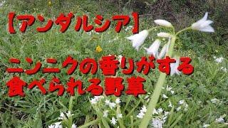 スペインニンニクの香りがする食べられる野草アンダルシア