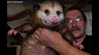 Не будите гадкого опоссума! Do not wake ugly opossum!