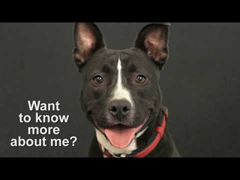 Dolly - 43 lbs!, an adoptable Pit Bull Terrier & McNab Mix in Pasadena, CA