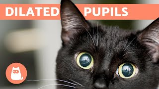 Why Does My CAT Have DILATED PUPILS? - Common Causes