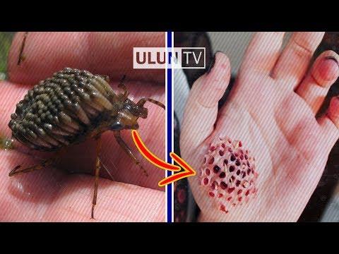 Jangan Dipegang ! 5 Serangga Paling Berbahaya dan Mematikan Didunia