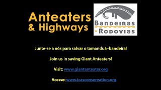 Take a look at this awesome video of a giant anteater taking