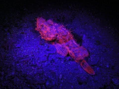 """Biofluoreszenz (Nachttauchgang) - """"Roman Rock"""", Mashraba, Dahab, Mashraba (Wadi-Brücke),Dahab,Ägypten"""