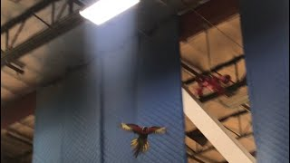 SCARY MOMENTS! ANGEL FREE FLYING IN THE GYM TO HELP FIND THE LOST PARROT!