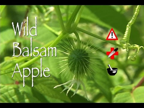 Video Wild Balsam Apple: Medicinal, Cautions & Other Uses
