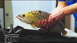 HOW TO: Aquarium fish cosmetic surgery operation TUTORIAL