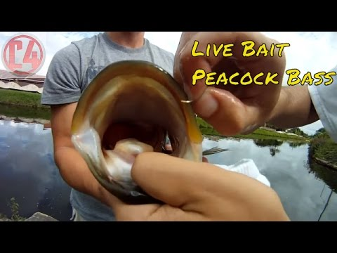 Live Bait Fishing Peacock Bass