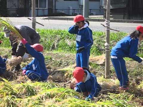 真城小学校わんぱく田伝教室(稲刈り)