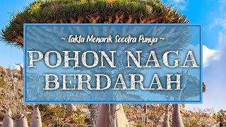 Fakta Unik Socotra, Ada Pohon 'Naga' yang Keluarkan Darah Jika Ditebang