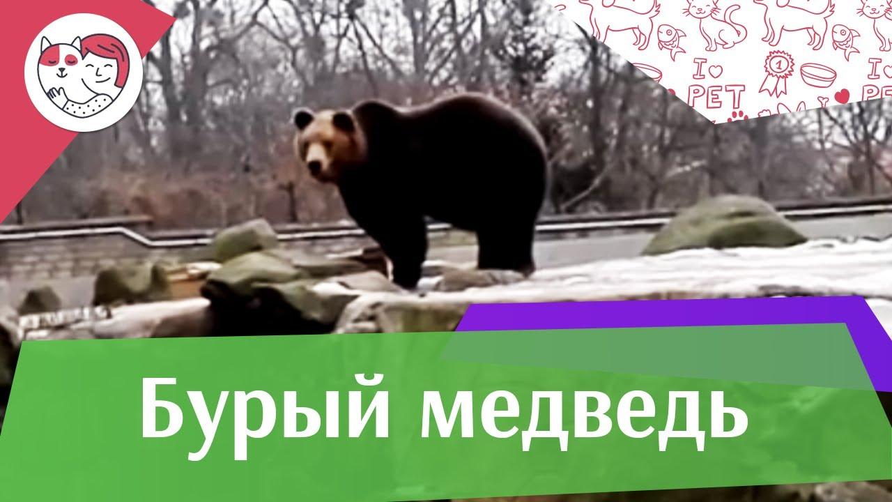 Бурый медведь Почему косолапый на ilikepet