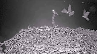 Nightjars on a windy night 00:18-01:11 with froggy chirps ~ ©PooleHarbourOspreyProject
