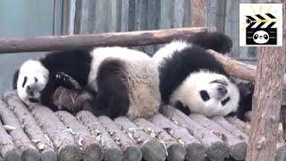 Panda Bears Sleeping Zen And The Art Of Being A Panda
