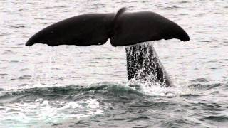 preview picture of video 'Whale watching in Kaikoura, New Zealand'