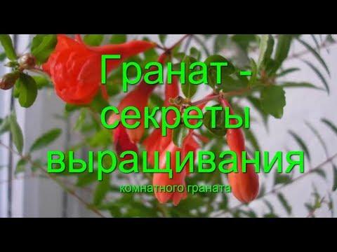 Гранат Уход  подготовка к  цветению плодоношению Формировка граната Punica  Советы как растет гранат