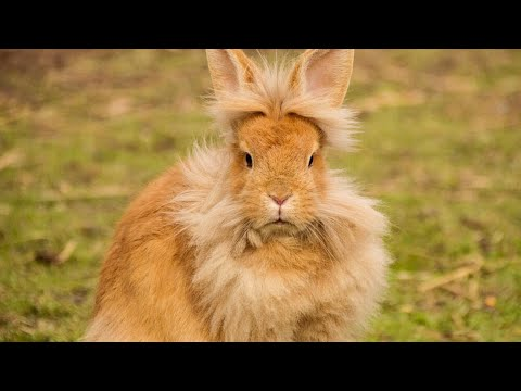 , title : 'Top 5 Most Expensive Rabbit Breeds In The World