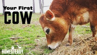 Your First Cow - Basics, Safety and Where to Start