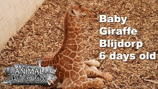 Giraffe Baby 1 week old