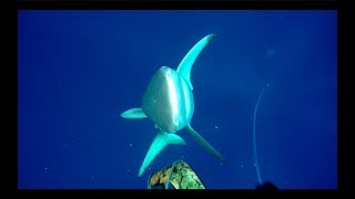 Shark attack on spear fisherman for yellowfin tuna at Ascension Island