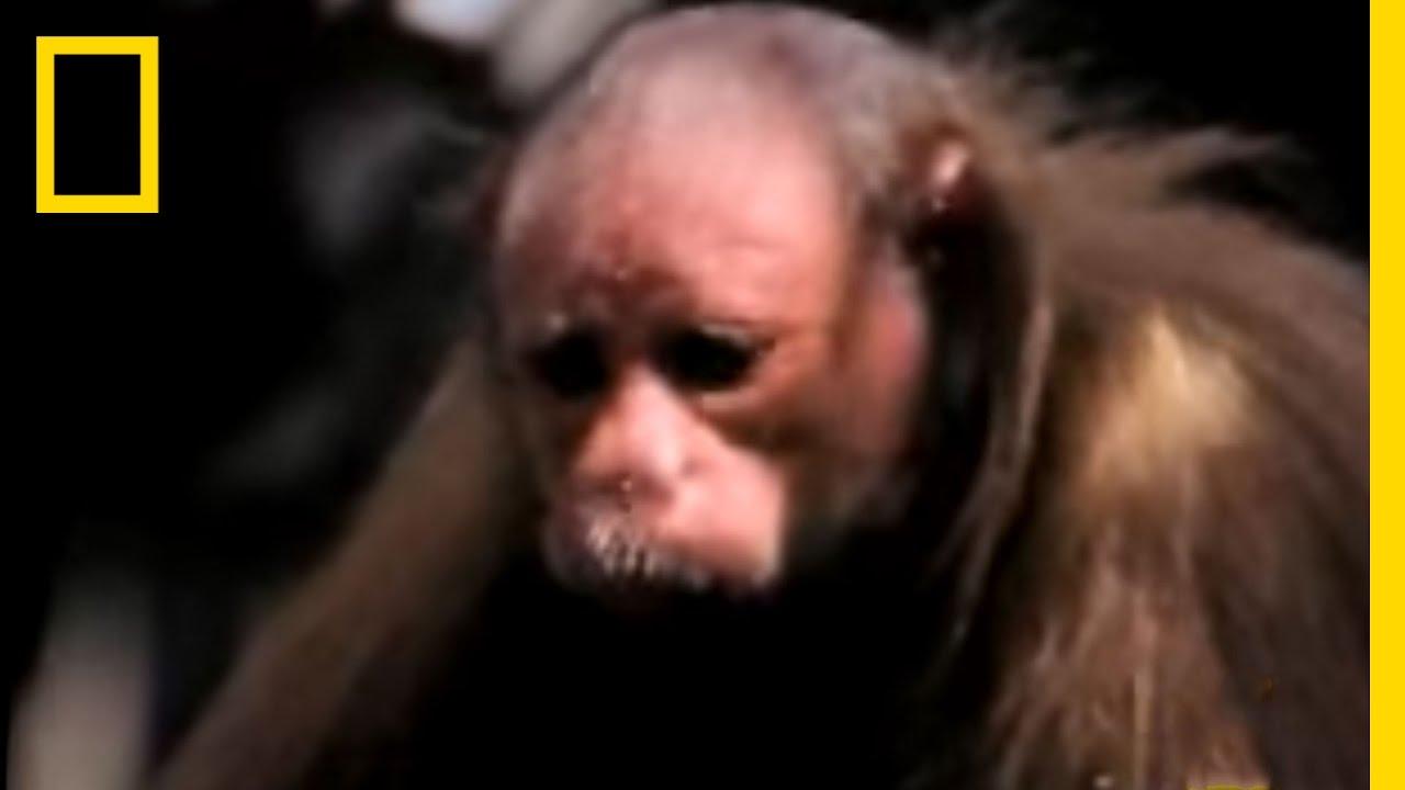Red Uakari Monkey | National Geographic thumbnail