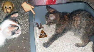 a desperate kitten buried its poop
