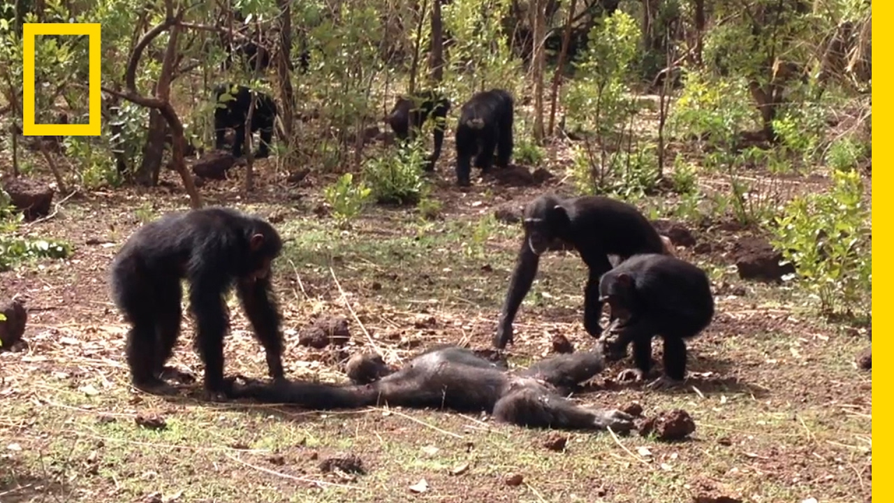 Aftermath of a Chimpanzee Murder Caught in Rare Video | National Geographic thumbnail