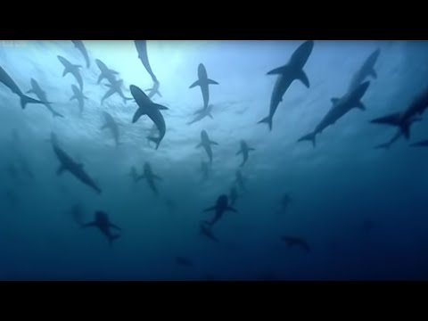 Thousands of sharks visit a sea mount | Blue Planet: A Natural History of the Oceans | BBC