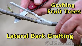 Grafting Fruit Trees | Lateral Bark Grafting | Grafting Thin Scions To Larger Branches