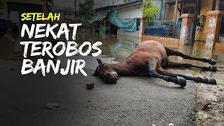 Seekor Kuda Mati Sang Kusir Pingsan seusai Nekat Terobos Banjir