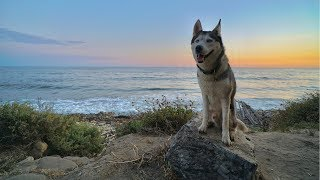 MY HUSKY'S BEST DAY EVER! - GOHAN REACHES 1 MILLION SUBSCRIBERS!