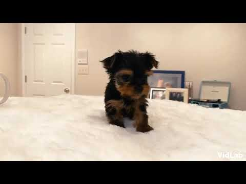 Ready now. Gypsy the tiny Yorkshire Terrier. Gypsy is a very relaxed, friendly, smart Yorkie