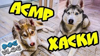 DOGVLOG: АСМР ЛОВИТЕ МУРАШКИ! РОЗЫГРЫШ РЮКЗАКА (Хаски Бандит) Говорящая собака