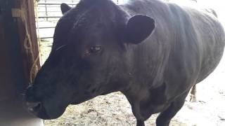Bob the Bull, from pasture to my big ol pet
