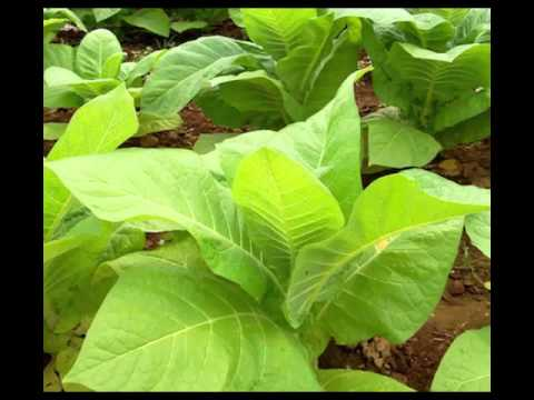 Video Tobacco Herb Health Benefits