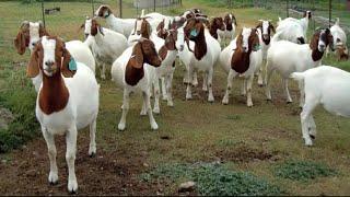 बाख्रा पालन सम्बन्धि कुराकानी||Goat Farming In Nepal