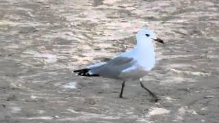 preview picture of video 'Audouin's Gull, Port de Pollenca'